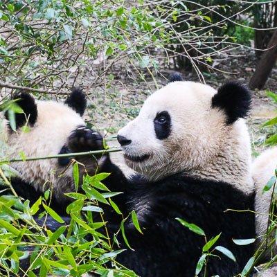Research Base of Giant Panda Chengdu Sichuan China 1
