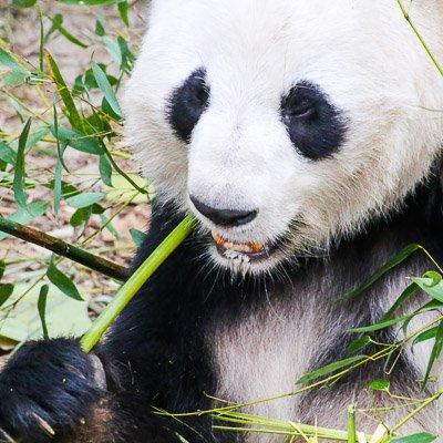 Research Base of Giant Panda Chengdu Sichuan China 3