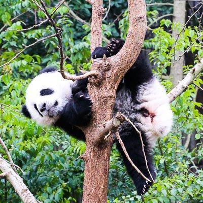 Research Base of Giant Panda Chengdu Sichuan China 4