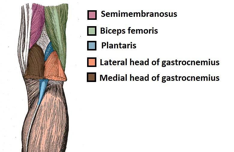 Muscles of poplitea fossa semimembranosus, biceps femoris